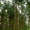 douglas hout op stam